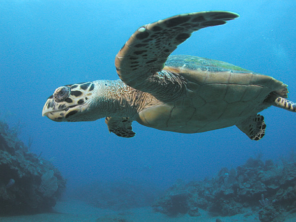 An introduction to the green turtle species chelonia mydas